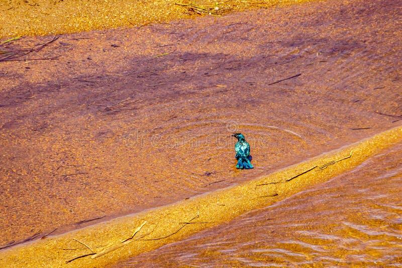 Mayor estornino Azul-espigado mojado de impregnación que toma después un baño en Sabie River fotos de archivo