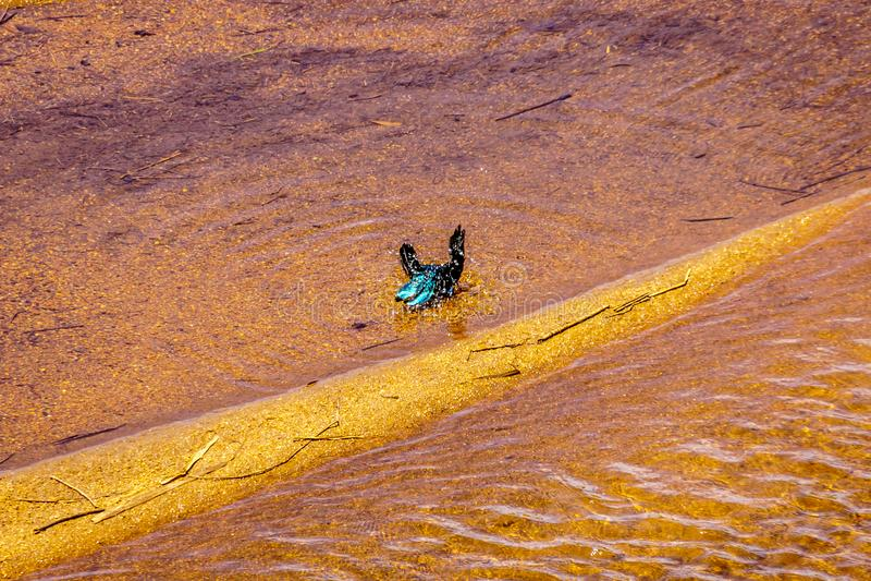 Mayor estornino Azul-espigado que toma un baño en Sabie River foto de archivo