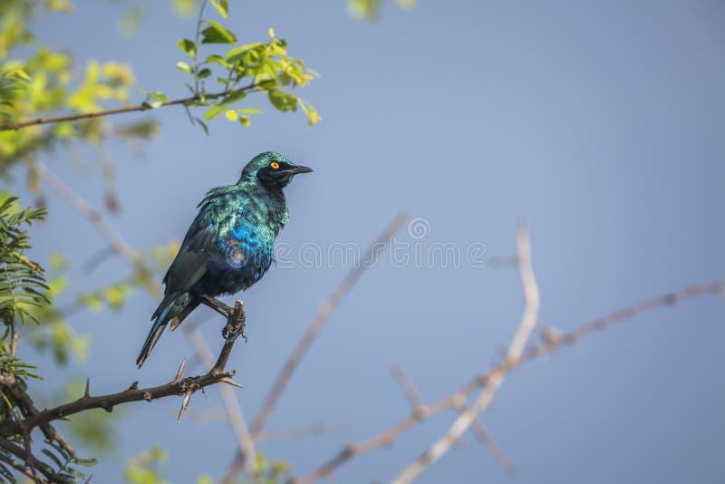 Mayor estornino brillante Azul-espigado en el parque nacional de Kruger, Sur?frica foto de archivo