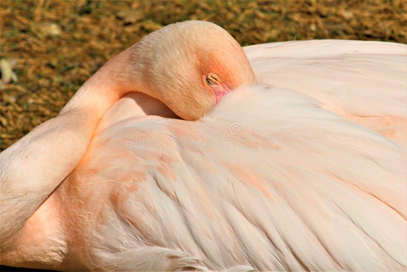 Mayor flamenco en el parque zool?gico de Phoenix, centro para la protecci?n de naturaleza, Phoenix, Arizona, Estados Unidos de Ar imagenes de archivo