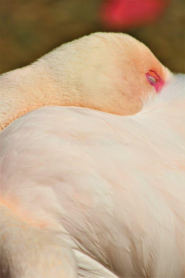 Mayor flamenco en el parque zool?gico de Phoenix, centro para la protecci?n de naturaleza, Phoenix, Arizona, Estados Unidos de Ar fotos de archivo libres de regalías