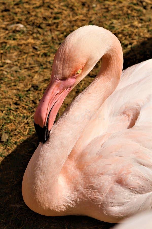 Mayor flamenco en el parque zool?gico de Phoenix, centro para la protecci?n de naturaleza, Phoenix, Arizona, Estados Unidos de Ar fotografía de archivo