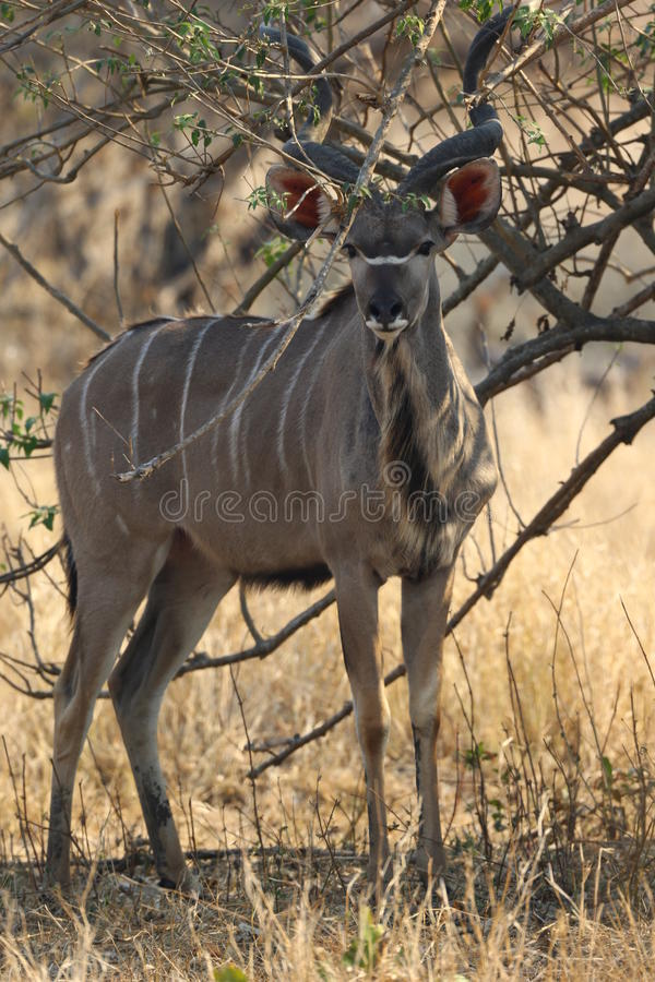 Mayor Kudu fotografía de archivo