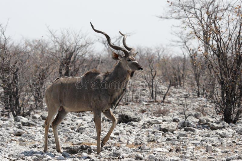 Download Mayor Kudu foto de archivo. Imagen de arbusto, claxon - 7150678