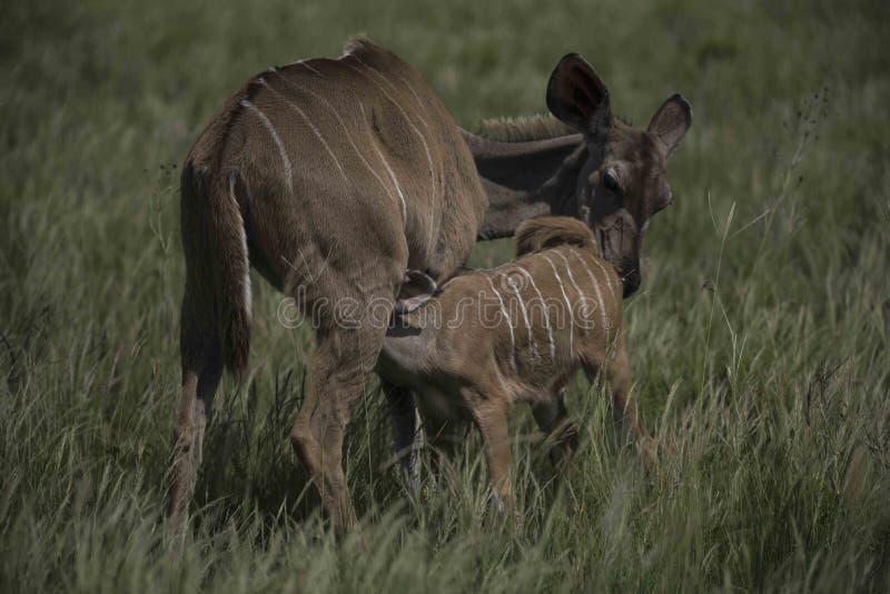 Mayor Kudu con la cría joven del becerro fotos de archivo libres de regalías