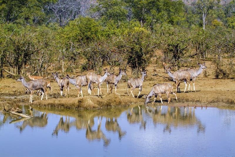 Mayor kudu en el parque nacional de Kruger, Suráfrica fotos de archivo libres de regalías