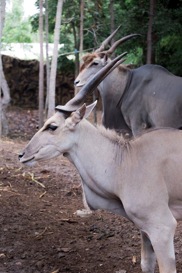 Mayor kudu que se coloca al aire libre fotos de archivo