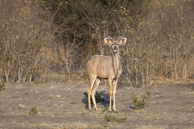 Mayor Kudu (strepsiceros del Tragelaphus) fotos de archivo
