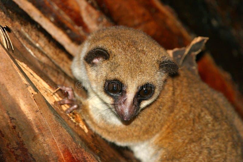 Mayor lemur enano imagen de archivo