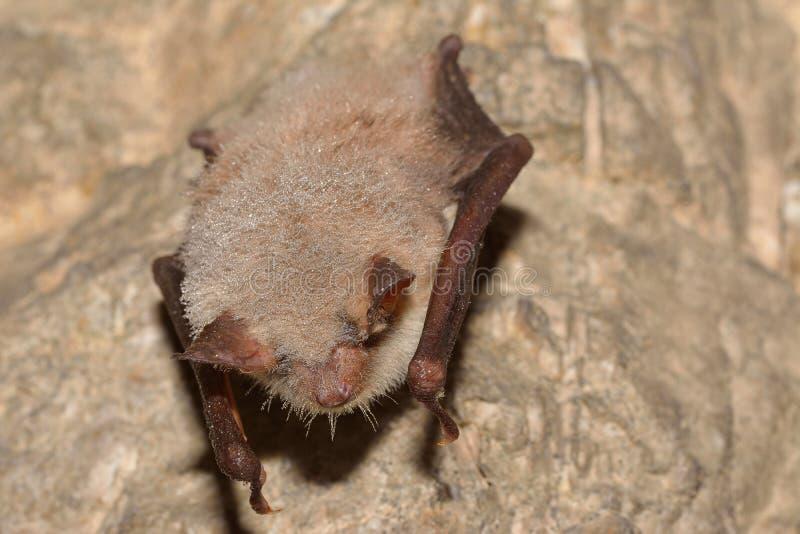 Mayor myotis ratón-espigado del Myotis del palo en la cueva imágenes de archivo libres de regalías