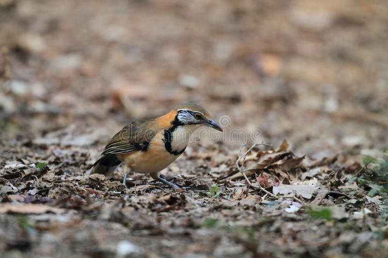 Mayor Necklaced Laughingthrush foto de archivo