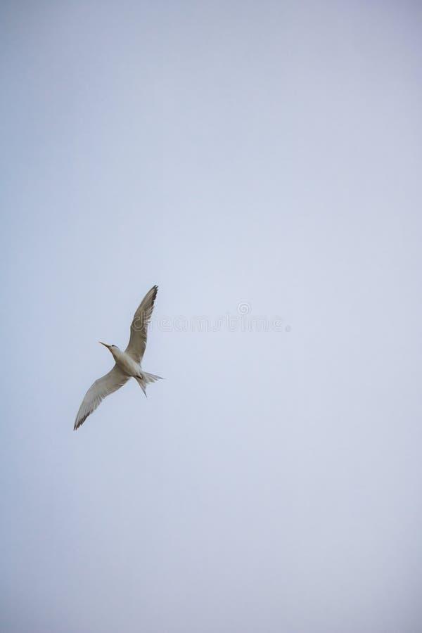 Mayor pájaro con cresta de la golondrina de mar en mediados de vuelo por la orilla del agua en la playa de Paarden Eiland en la s foto de archivo libre de regalías