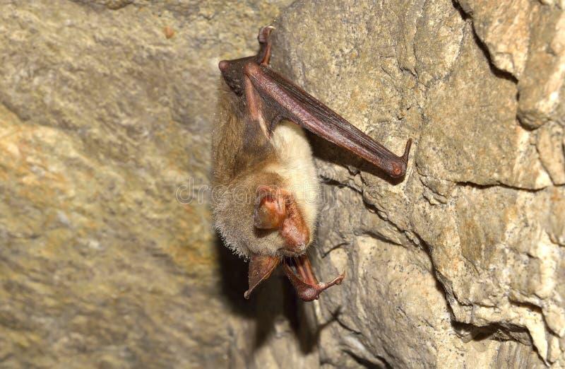 Mayor palo ratón-espigado (myotis del Myotis) foto de archivo libre de regalías