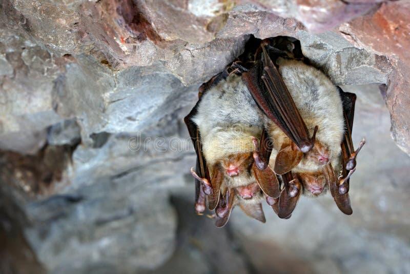 Mayor palo ratón-espigado, myotis del Myotis, en el hábitat de la cueva de la naturaleza, kras de Cesky, representante checo Sent imagen de archivo