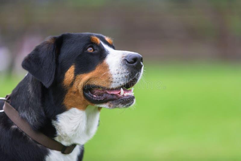 Mayor perro suizo de la montaña fotos de archivo libres de regalías