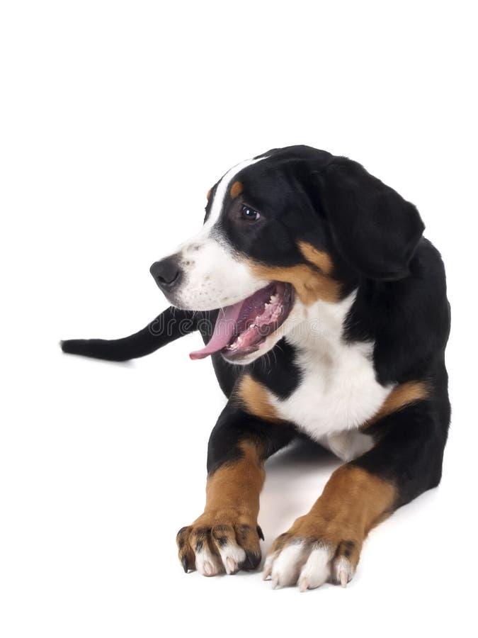 Mayor perro suizo de la montaña imagen de archivo libre de regalías