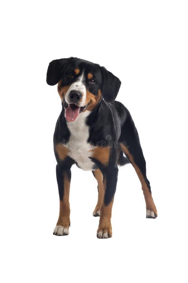 Mayor perro suizo de la montaña imagenes de archivo