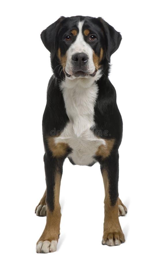 Mayor perro suizo de la montaña, colocándose foto de archivo libre de regalías