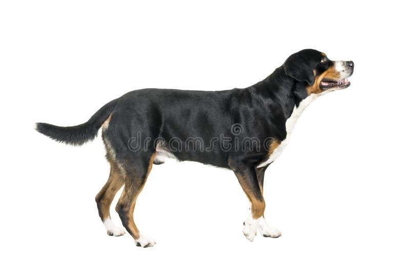 Mayor situación suiza del perro de la montaña y mirada lejos de la cámara imágenes de archivo libres de regalías