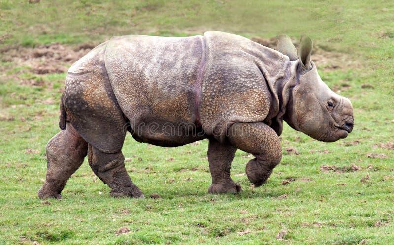 Mayor un becerro de cuernos del rinoceronte foto de archivo libre de regalías