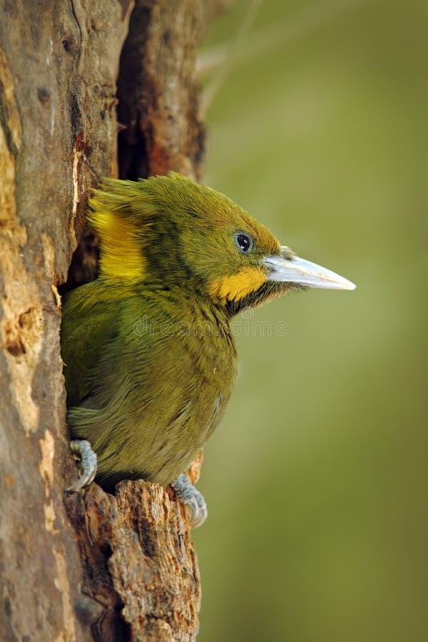 Mayor Yellownape, flavinucha del Picus, en la jerarquía del agujero del árbol, retrato del detalle de la pulsación de corriente v imagenes de archivo