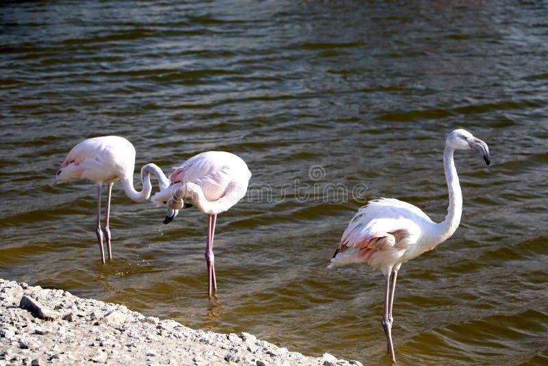 Mayores flamencos de los pájaros grandes rosados en el agua Flamencos que limpian plumas Escena animal de la fauna de la naturale fotografía de archivo libre de regalías