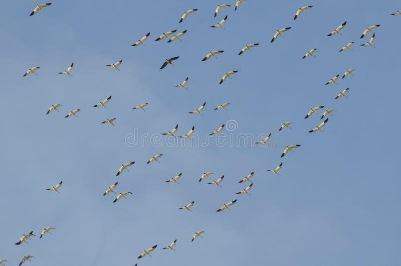 Mayores gansos de nieve que emigran al sur fotos de archivo libres de regalías
