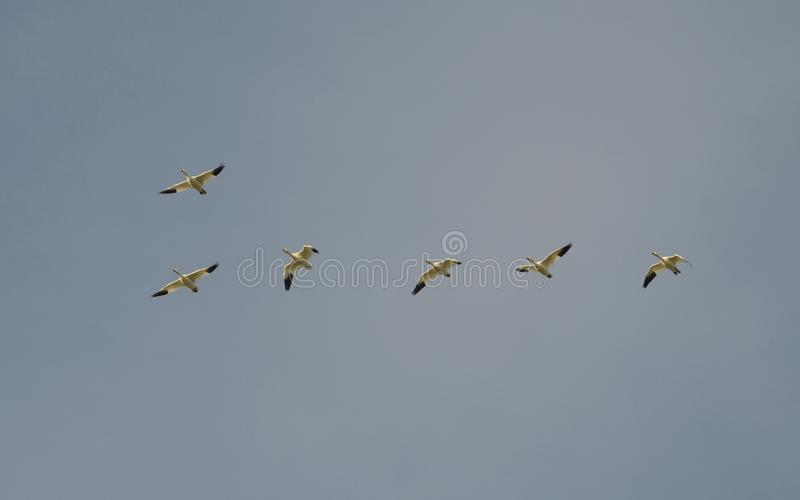 Mayores gansos de nieve que emigran al sur imagen de archivo libre de regalías