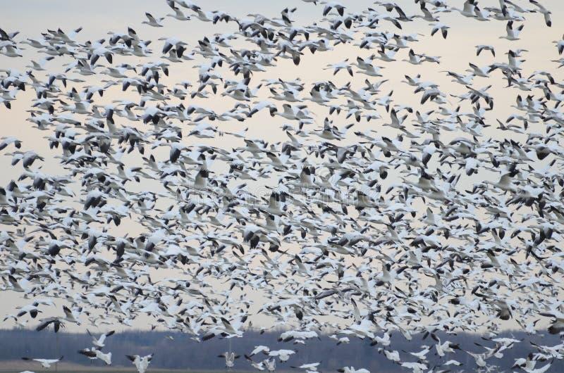 Mayores gansos de nieve que emigran al sur foto de archivo