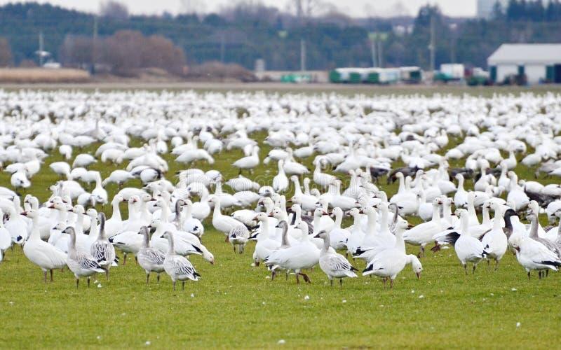 Mayores gansos de nieve que emigran al sur foto de archivo libre de regalías