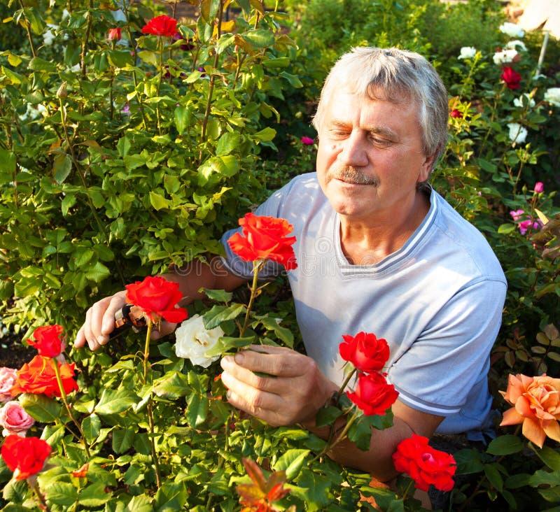 Mayores que cuidan para las rosas en el jardín imagen de archivo