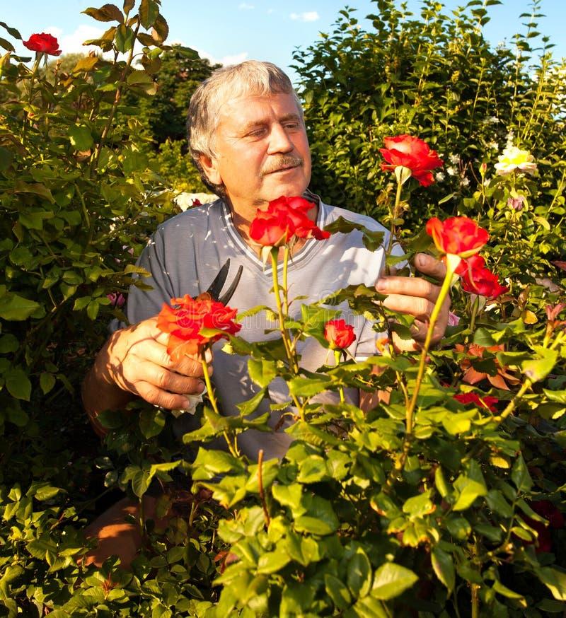 Mayores que cuidan para las rosas en el jardín fotos de archivo
