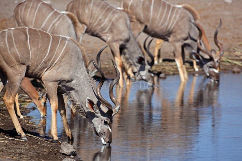 Mayores varones del kudu en el waterhole, Etosha, Namibia foto de archivo