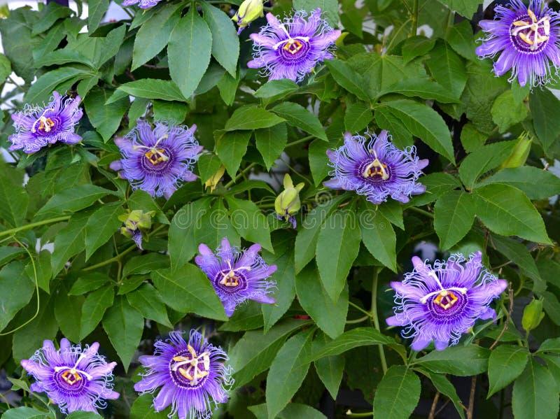 Maypop kwiaty obrazy stock