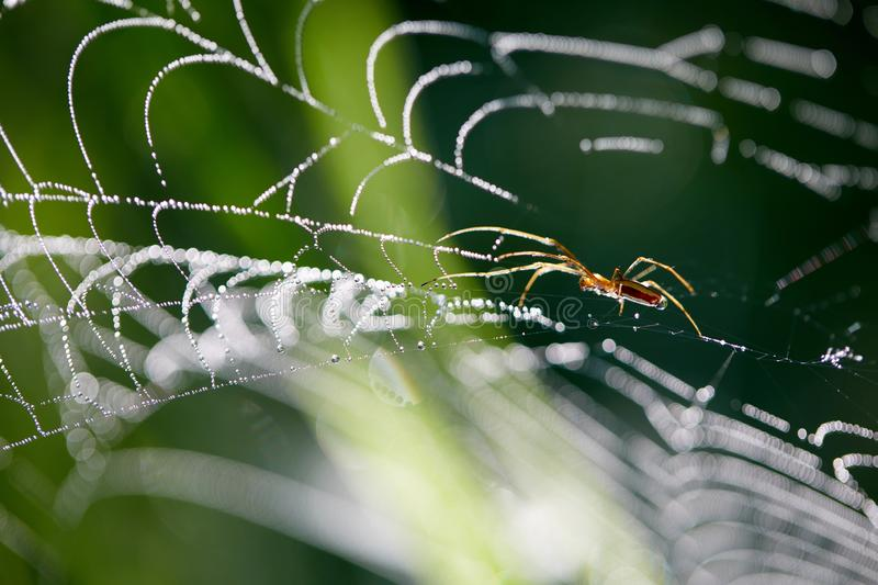 Maytina on the tree. Water drops of dew on a spider web. Predator in anticipation of prey.  stock photography