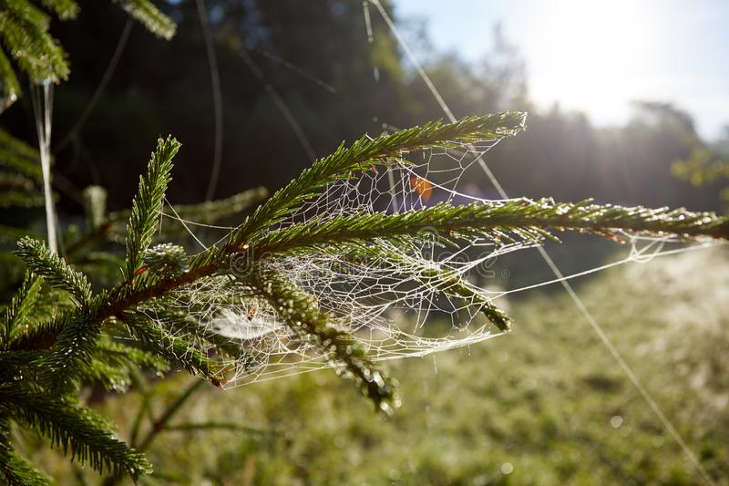 Maytina on the tree. Water drops of dew on a spider web. Predator in anticipation of prey.  stock photos