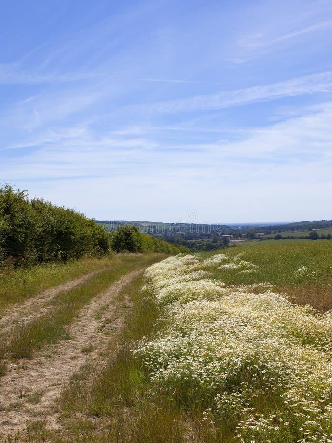 Mayweed Wildflowers durch einen Feldweg in der Sommerzeit stockfotos