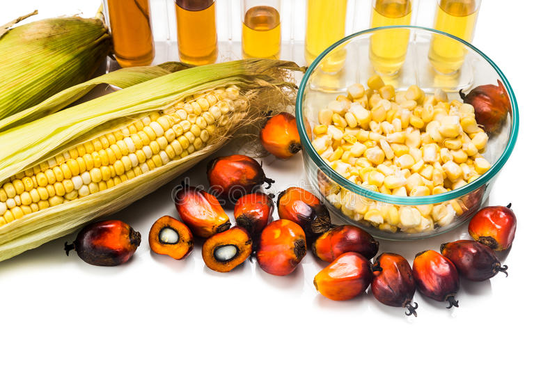 Maze corn and oil palm derived biofuel in test tubes. Maze corn and oil palm derived biofuel in test tubes royalty free stock image