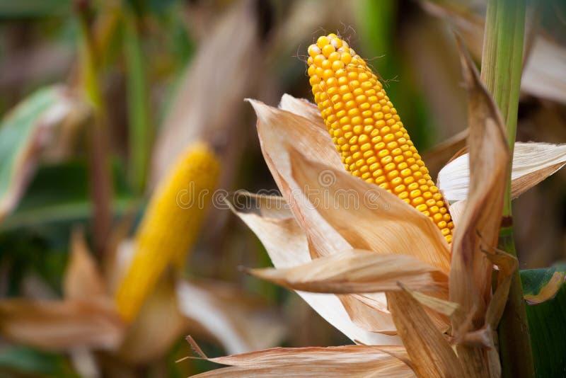 Mazorca amarilla madura dos del maíz dulce en el campo foto de archivo