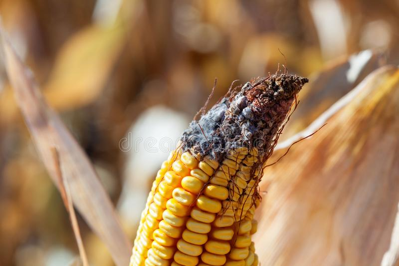 Mazorca de maíz no madura, enferma y mohosa en el campo, primer fotografía de archivo