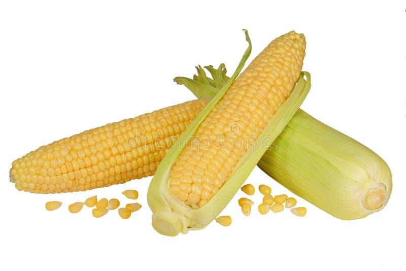 Mazorcas de maíz crudas frescas aisladas imagen de archivo libre de regalías