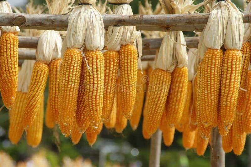 Mazorcas de maíz que cuelgan en los carriles de madera imagenes de archivo