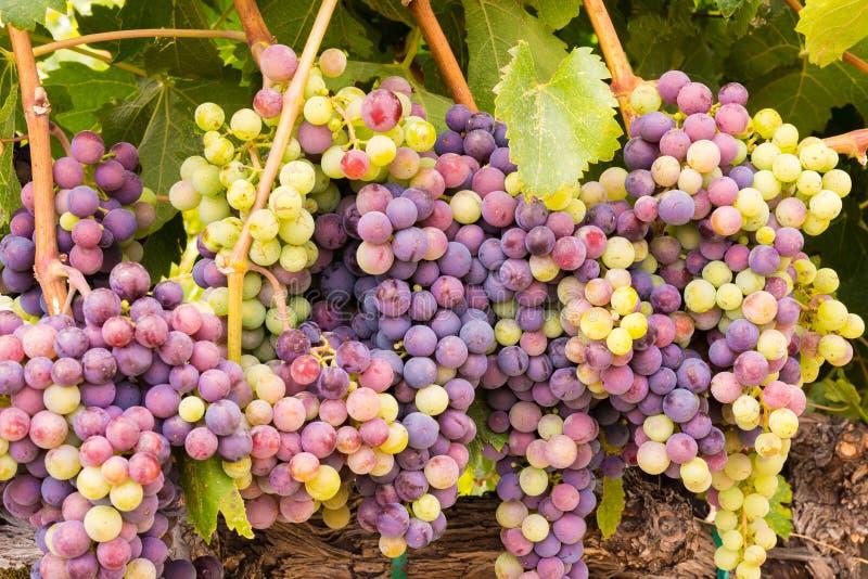 Mazzi dell'acino d'uva di Napa Valley pronti per il raccolto fotografia stock