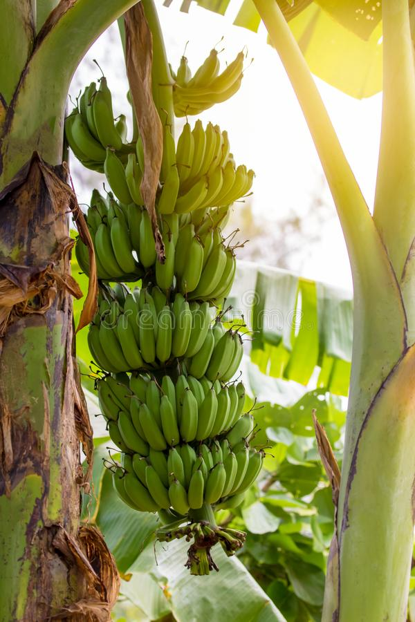 Mazzi di banana che crescono su un albero immagini stock libere da diritti