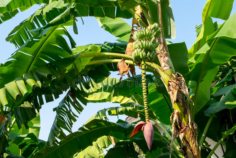 Mazzi di banane verdi fotografie stock