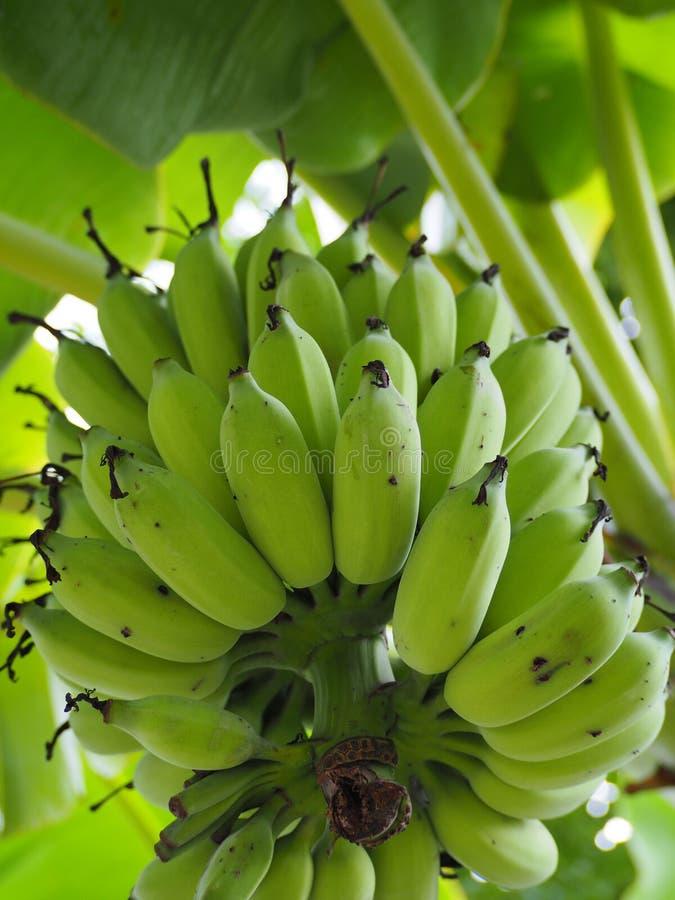 Mazzi di banane verdi immagine stock