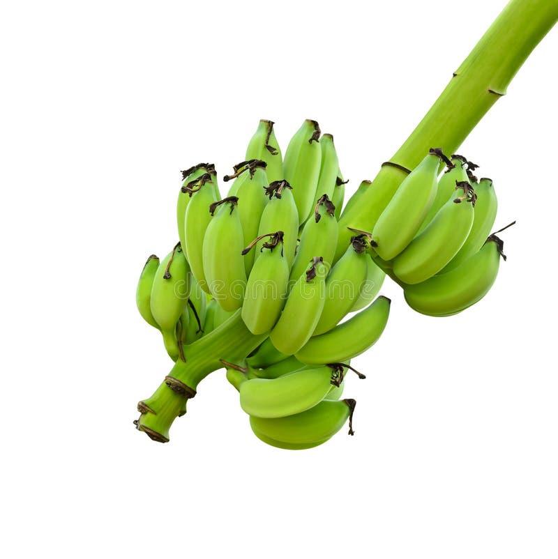 Mazzi di banane verdi sull'albero su bianco immagini stock