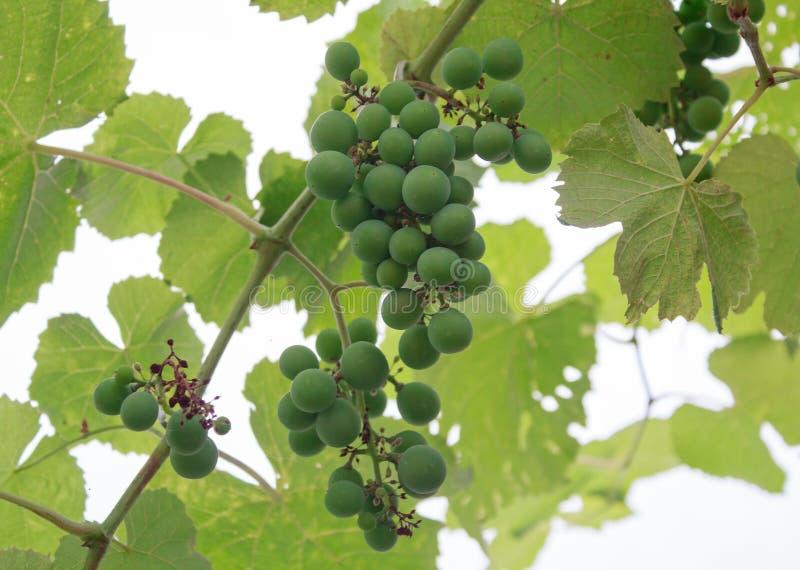 Mazzi di coltura del primo piano non maturo dell'uva fotografia stock libera da diritti