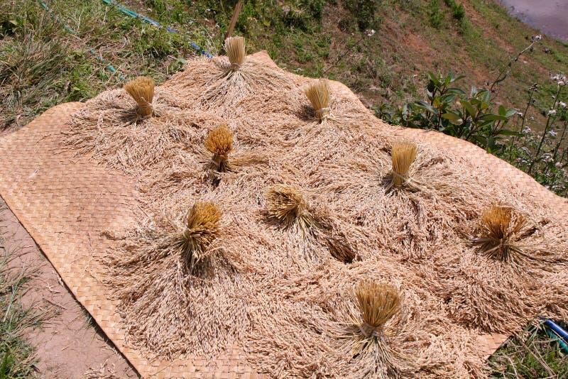 Mazzi di essiccazione matura del riso fotografie stock libere da diritti