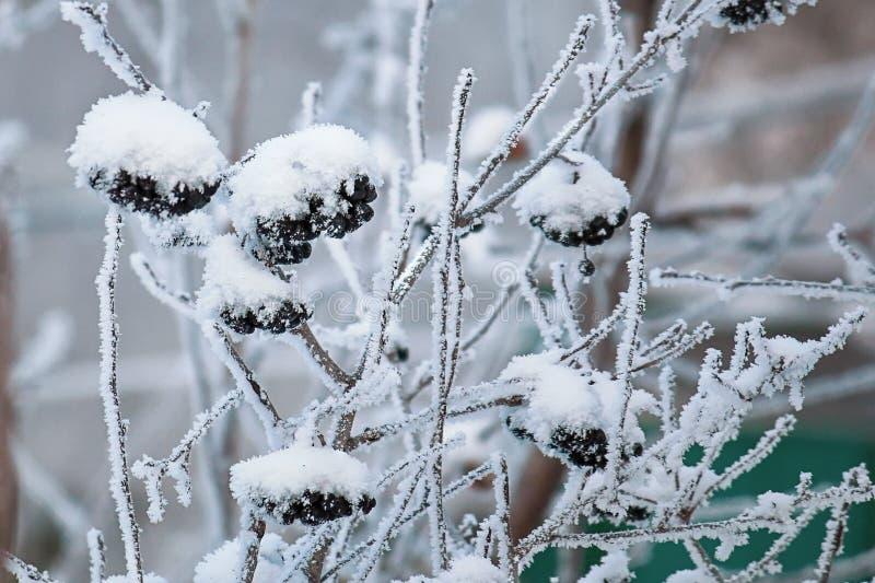 Mazzi di fiocchi della neve in polvere sorba nera Priorit? bassa di inverno fotografia stock